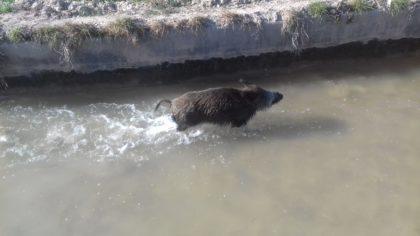 Rescaten a un porc senglar d'una sèquia del Millars en el terme d'Almassora