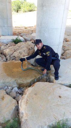 Atrapen a una serp de metre i mig als carrers de Vinaròs