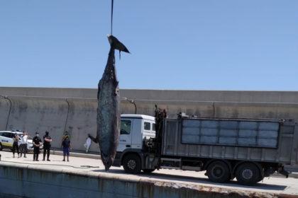 Troben un cetaci mort a la costa de Sagunt